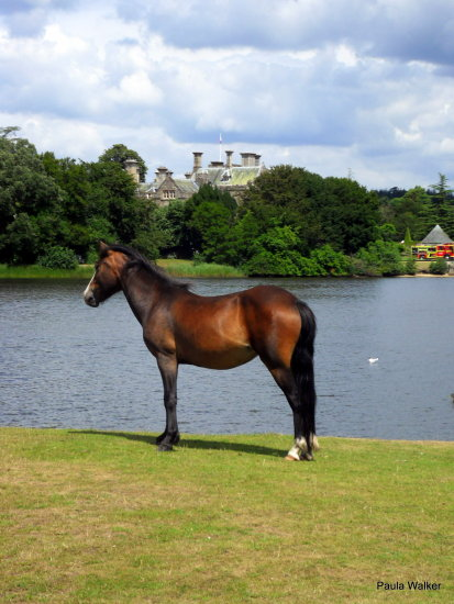 Pony New Forest Beaulieu