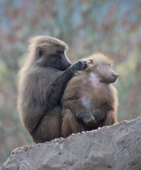 baboon mother baby grooming paignton zoo devon