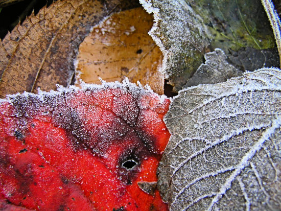 frost leaves autumn