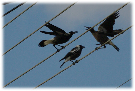 linesfriday friday theme birds magpies perth littleollie