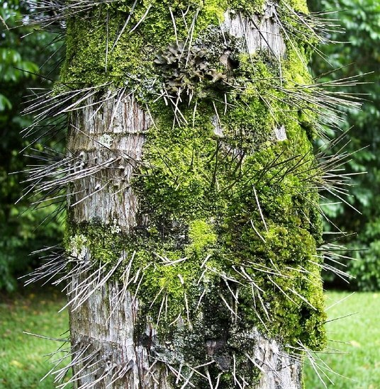 Hawaii tree moss