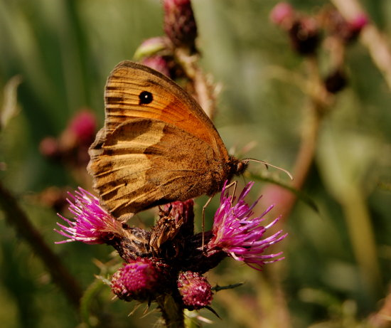 meadowbrown butterfly danbydale northyorkshire
