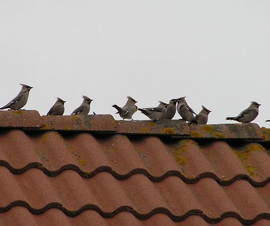 Waxwings on my neighbour's roof