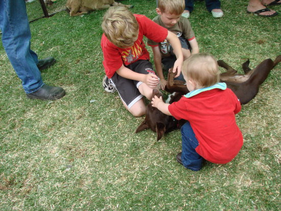children aniamls feed pat kelpie red dog ap show perth littleollie