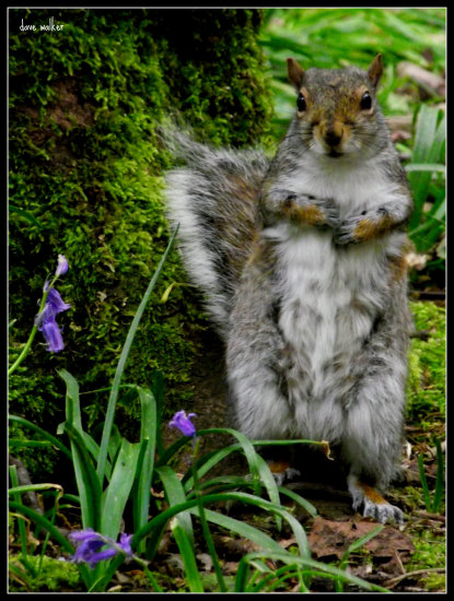 squirrel bluebells saffi9