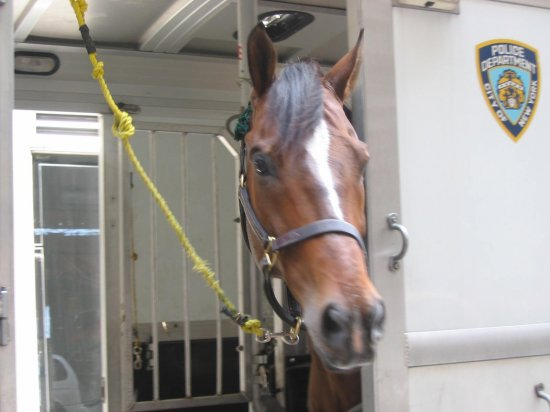 nypdhorse policehorse