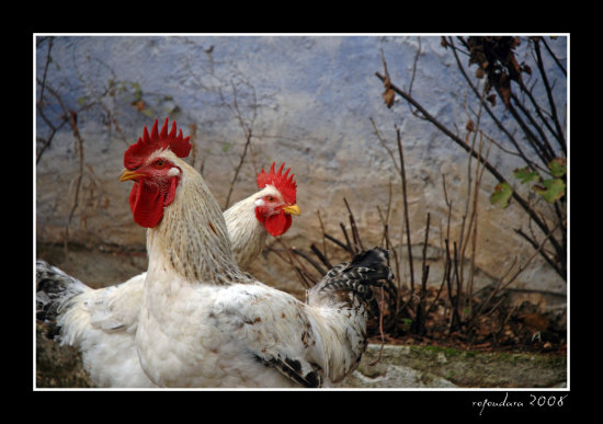 animals rooster bird kozani