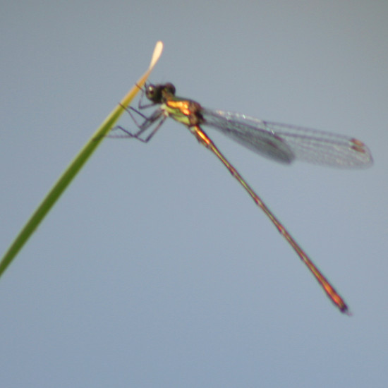 dragonfly insecte nature luxembourg