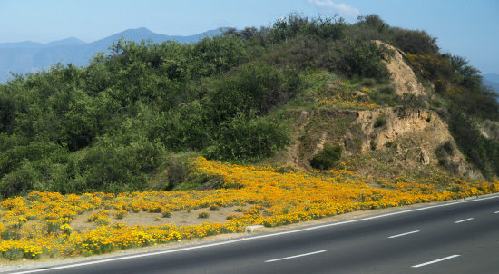 SANTIAGO     ON OUR WAY TO THE WINEYARDS  2.      THOSE YELLOW FLOWERS ARE ALL OVER THE AREA.