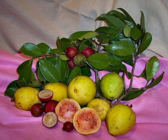 Guavas. The small red fruit is Mountain Guavas.