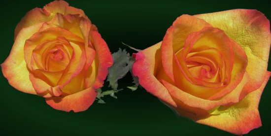Roses- layers, photo manipulation