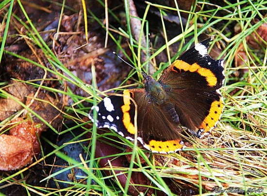 Butterfly Amiral Autumn Skane Sweden orange black white 2010 September