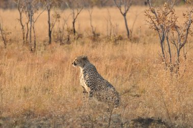 African Wildlife animals wild cats rangerriaan