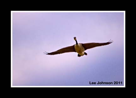 Wildlife Nature Natural History Goose Canada Goose Spideyj