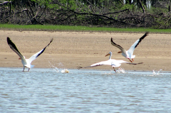 white pelican nature