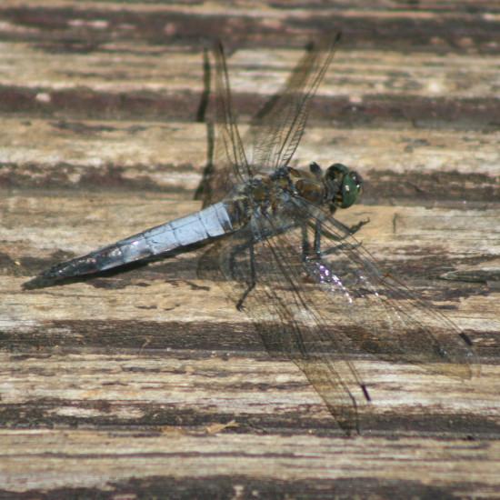 dragonfly insecte luxembourg