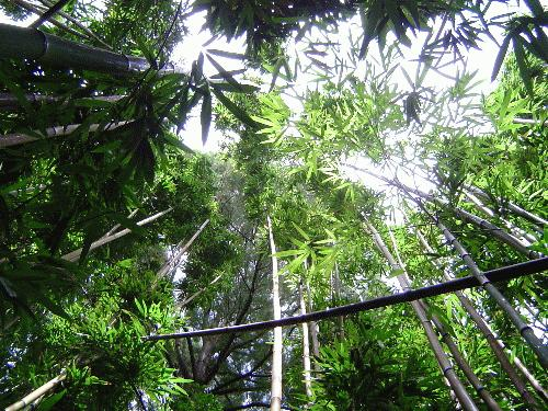 This is a picture was taken along the Manoa Falls trail hike. Hiking through a bamboo forest is a...