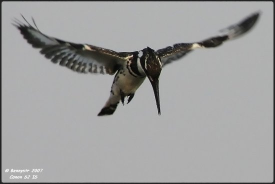 Male Pied Kingfisher