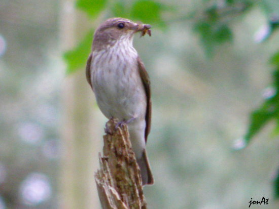 spotted flycatcher bird nature wildlife