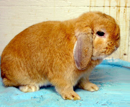 rabbit hollandlop lop bunny pet animal NiagaraFalls Canada