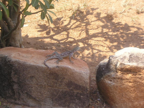 Lizard in our home