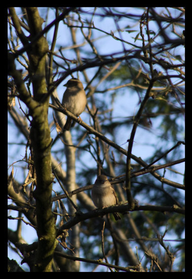Two house sparrows enjoying the sun this afternoon.