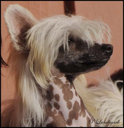 dog chinese crested beautiful