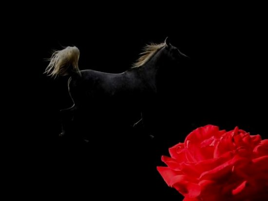 arabian horse animal rose collage
