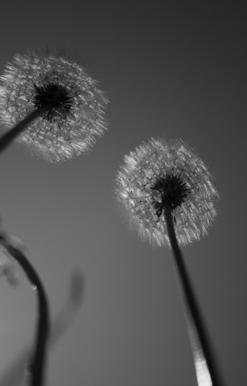 they once were lost but now theyre found dandelion bw