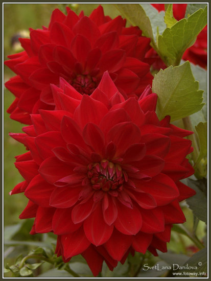nature flower summer green red dahlia