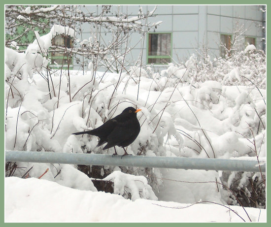 winter snow bird