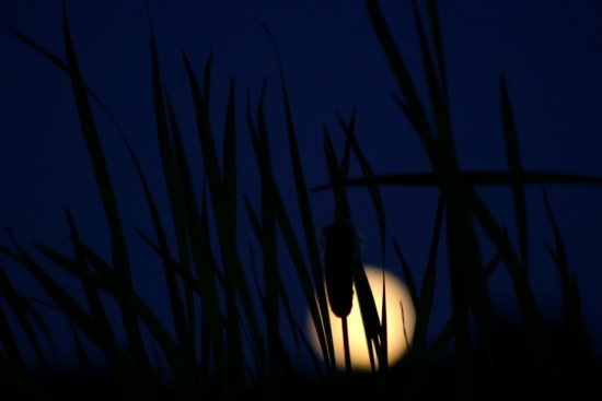 Moon rise bullrushes rushes plants BC Canada