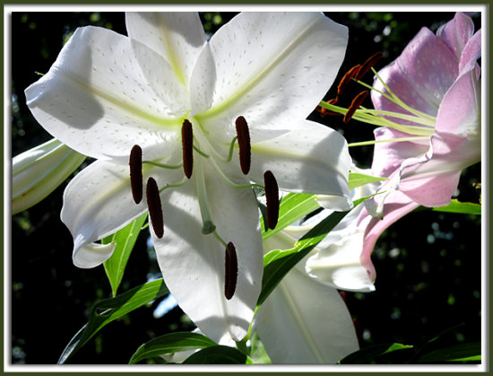 lily white gardenflower