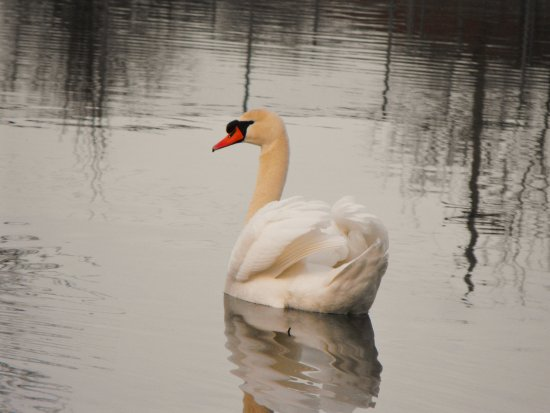 Swan Bird Reflections