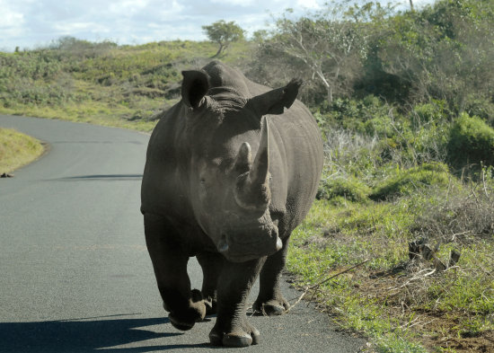 Rhino Eastern Shore Reserve St Lucia South Africa