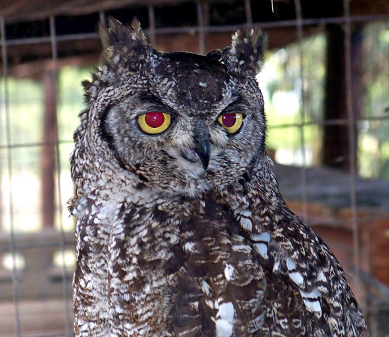 owl breeding kzn richards bay adventure
