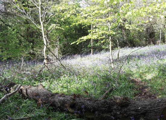 bluebells wood log