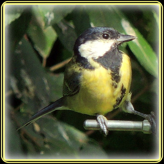 greattit bird
