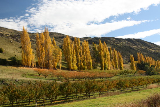 Roxburgh fruit trees orchard Autumn
