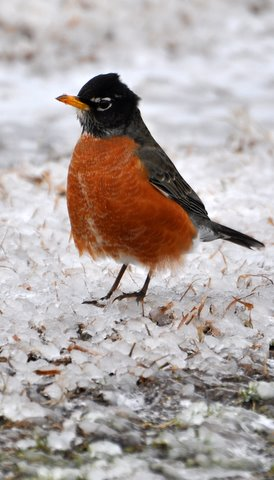 robin snow ice winter birds sleet