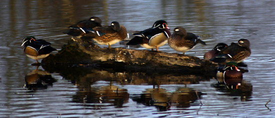 woodduck lake burnaby BC Canada