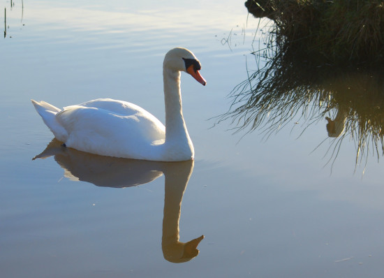 reflectionthursday swan braunton burrows devon