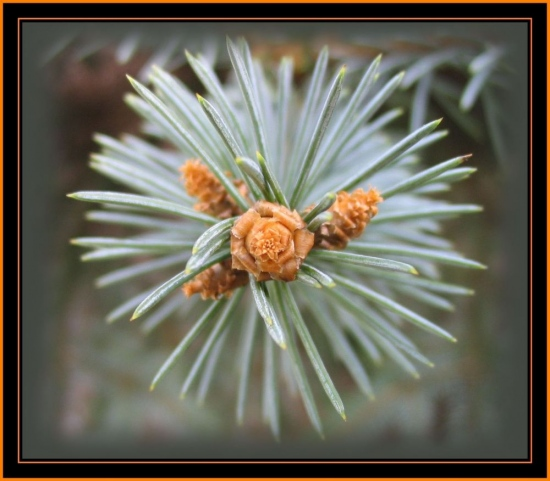 pine beauty spring flower