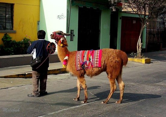 Do you want a picture with my llama ????