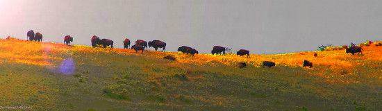 American Bison Catalina Island wildlife Pankey Wildspirit