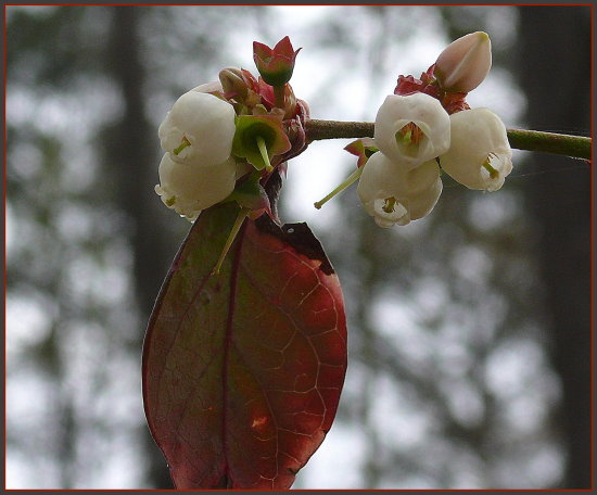 One with a leaf for Fleur.  Blooms first, then leaves.  This leaf is from last year. (reference p...