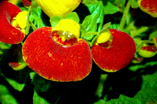 lady slipper pantofel red yellow green macro