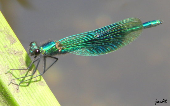 damselfly insect wings nature wildlife