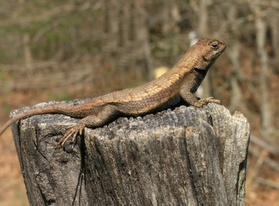 stretch lizard fencepost sunning