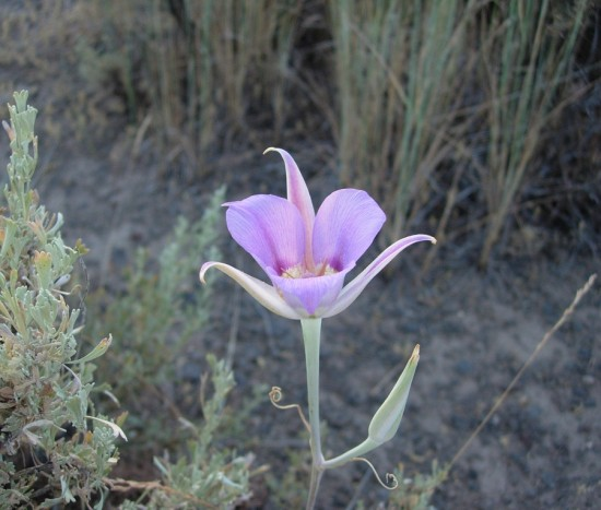 desert flower harney burns oregon